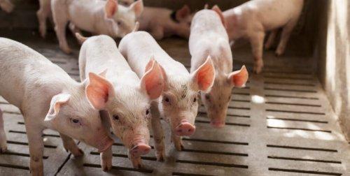 varkens-in-stal