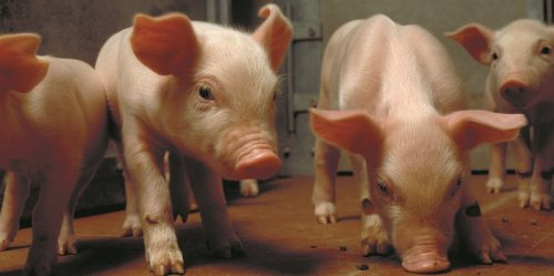 Biologische varkens in de wei