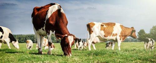 Koeien in weiland buiten