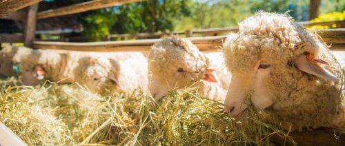 schapen-eten-voer