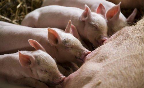 varkens-drinken-bij-zeug
