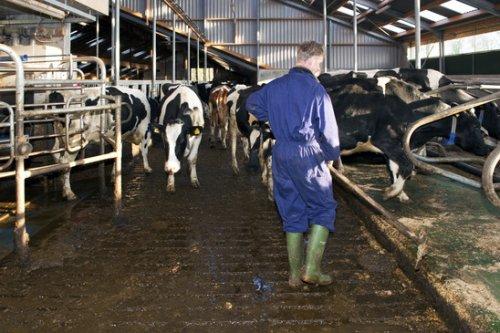 Boer in stal met koeien