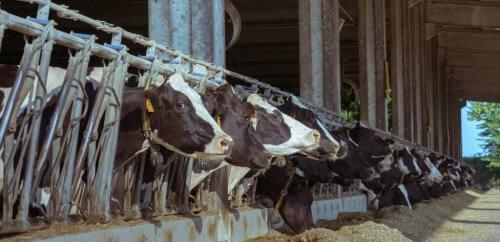 koeien-in-stal